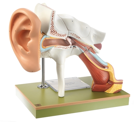 SOMSO Ear with Pinna - DS1