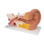 Giant Ear Model, 3x Life Size, 4-part - E10