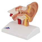 Desktop Anatomical Ear Model, 1.5 times enlarged E12