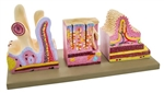 Model of Human Digestive Canal