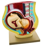 Hand Painted 9th Month Pregnancy Model with Removable Fetus - EAM0120