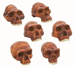 Model Prehistoric Man Skull - Set of 6