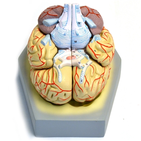 Life-size Human Brain With Arteries, 9 Parts - EAM21AS