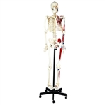 Painted Human Skeleton Model, Mounted on a Rolling Stand - EAMCH1003AS