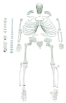 Disarticulated Human Skeleton | Full Disarticulated Human Skeleton Model