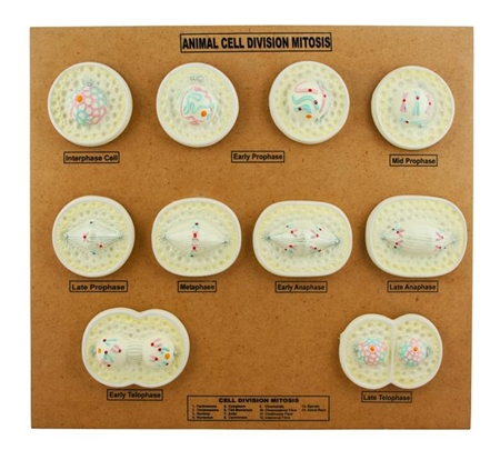 Animal Cell Division - Mitosis Model
