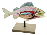 Model of Fish Dissection - Perch Big