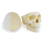 Female  Skull Model | Model of a Female Skull | Anatomical Female Skull Model | Female Skull Anatomy Model | Advanced Female  Skull Model, 3 Part - Medical Version ESP-ZJY-320-C | Buy Female  Skull Model | Female  Skull Model On Sale