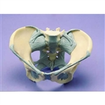 Female Pelvis Model | Ligamented Female Pelvis  | Ligamented Female Pelvis Model W19012 | ESP Ligamented Female Pelvis Model ZJY-594-F