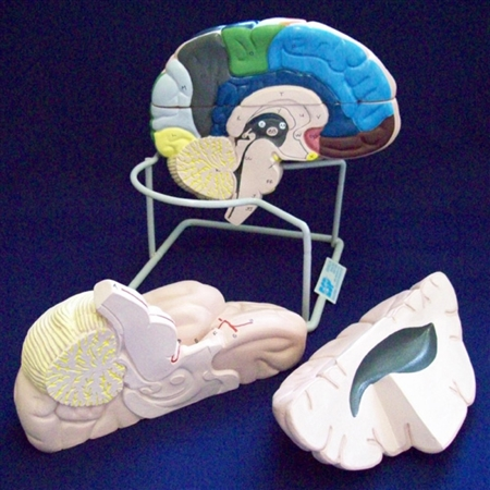 Enlarged Human Brain Model 4-Part