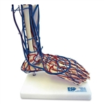 Vascular Foot  | Vascular Foot Model | Vascular Foot Model ESP-ZKJ-691-F | Vascular Foot Model SB47386U | ESP Vascular Foot Model ZKJ-691-F | ZKJ691F | Foot Model with Blood Vessels | Authorize Dealer for the Vascular Foot | Vascular Foot Model On Sale