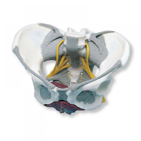 pelvis with ligaments nerves pelvic floor muscles