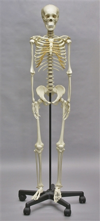 adolescent skeleton model with stand