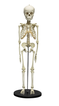 Child Skeleton, 5 Year Old - EZ2800