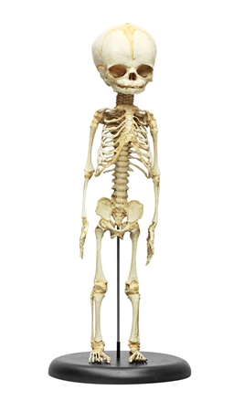 fetus skeleton model 30th week of pregnancy