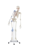 "Skeleton Model | Skeleton Model with movable spine, muscles and ligaments | Skeleton ""Max"" with movable spine, muscles and ligaments 