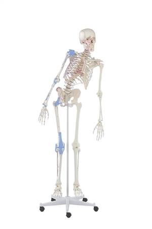 Skeleton 'Max' with movable spine, muscles and ligaments - EZ3016