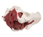 Female Pelvis Model  | Pelvic Floor Model |  Female Pelvic Model