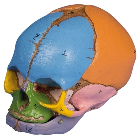 didactic fetal skull 38th week