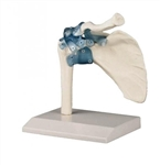 Shoulder Joint Model | Shoulder Joint Model with Ligaments | Shoulder Joint Model with Detachable Ligaments Z4550 Erler Zimmer Shoulder joint with ligaments with stand, part number EZ-4550