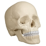 Osteopathic Skull | Osteopathic Skull Model | Anatomical Osteopathic Skull Model | Anatomical Skull Model | Osteopathic Skull Model, 22 part, anatomical version | Erler Zimmer Osteopathic Skull Model, 22 part, anatomical version part number EZ-4701