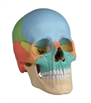 Osteopathic Skull | Osteopathic Skull Model | Osteopathic Skull Model, 22 part, didactic version | Erler Zimmer Osteopathic Skull Model, 22 part, didactic version, model EZ-4708