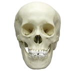 adolescent skull model female