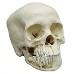 child skull model 12 year old