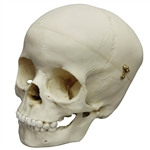 child skull model 5 year old