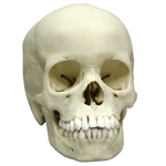 adolescent skull model of a 13 year old