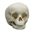 child skull model 15-month old
