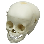 child skull model 1 year old