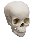 child skull model 4 year old