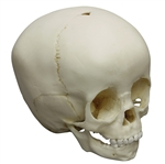 child skull model 18-month old