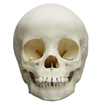 child skull model 3 year old