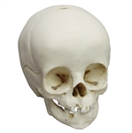 child skull model 14-month old