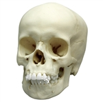 Child Skull Model 9 Year Old