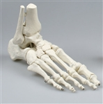 Skeleton of foot model with tibia and fibula insertion Z-6053