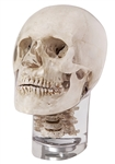 X-Ray Phantom Head With Cervical Vertebrae, Transparent - EZ7300