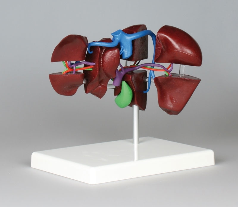 Segmental Liver Model