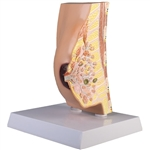 Breast Cross Section Model - EZL280