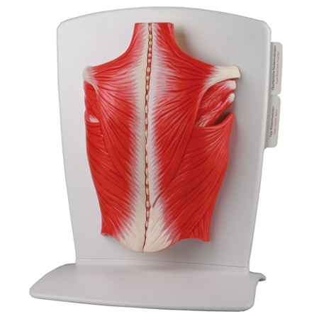 Back Muscle Model | Model of the back muscles | back pain simulator | Buy back muscle model | back muscle model on sale | Buy back muscle model on sale