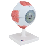 Eye Model | Eye Model, 5 times full-size, 6 part | Anatomical Eye Model, 5 times full-size, 6-part F10 | Medical Eye Model F10 | 3B Scientific Eye Model F10 | Teaching Eye Model | Student Eye Model | Giant Eye Model F10
