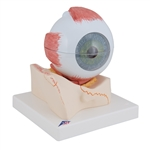 Eye Model | Eye Model, 5 times full-size, 7 part | Giant Anatomical Eye Model on base of bony orbit, 5 times full-size, 7-part F11 | 3B Scientific Eye Model F11 | Medical Eye Model F11 | Teaching Eye Model F11 | Giant Eye Model F11 | Human Eye Model F11
