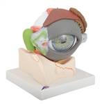 Giant Eye Model, 5 Time Full-size, 8 part - F12
