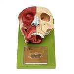 SOMSO Nose and Nasal Cavities Model with Bones Coloured - FS3-1