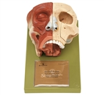 SOMSO Nose and Nasal Cavities Model