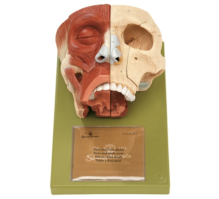 SOMSO Nose and Nasal Cavities Model - FS3