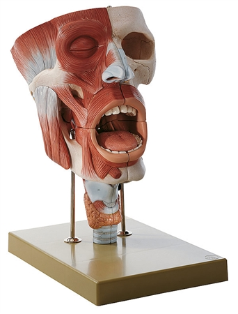 SOMSO Mouth and Throat with Larynx