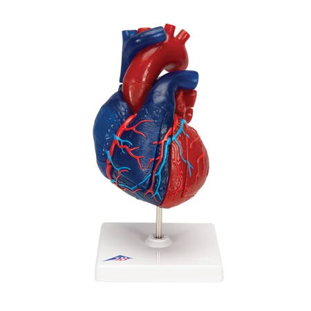 Life-size Magnetic Heart, 5 parts - G01-1